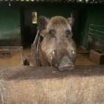 Quin tros de porc!!!oinc-oinc!